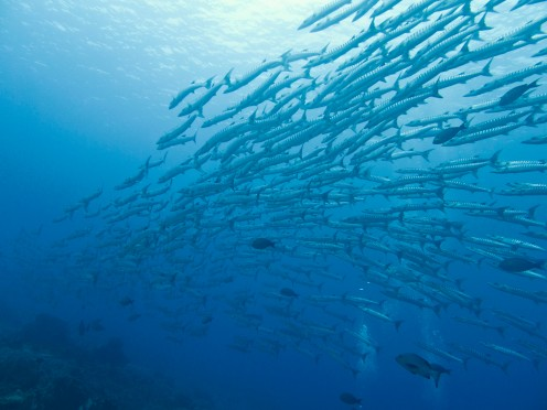 "School of Chevron Barracuda from ""The World Below Us"""