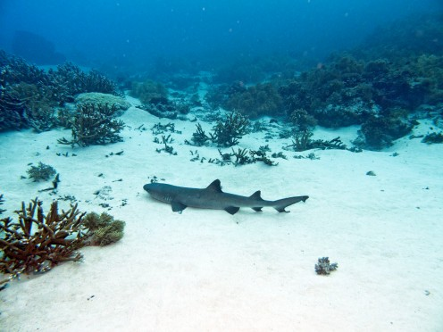 """Black tip reef shark from """"The World Below Us"""""""